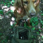 куче-търсач-на-трюфели-кокершпаньол